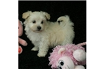 Picture of a Shih-Poo - Shihpoo Puppy