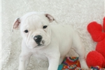 Picture of Tater, Minibull Bull, Shipping Included