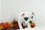 Picture of Gertrude, Minibull Bull, Shipping Included