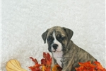 Picture of Jeeves, Minibull Bull, Shipping Included