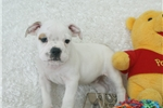 Picture of Porkchop, Minibull Bull, Shipping Included