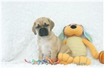 Picture of Sarge, Puggle, Shipping Included