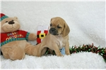Picture of Merry, Puggle, Shipping Included
