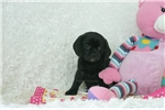 Picture of Katrina, Sweet Puggle, Shipping Included