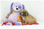 Picture of Baxter, Puggle, Shipping Included