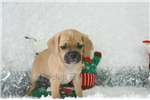 Picture of Parson, Puggle, Shipping Included