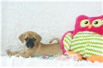 Picture of Trixie female puggle shipping included