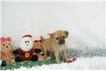 Picture of Lucy, Puggle, Shipping Included