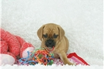 Picture of Chloe female puggle shipping included