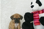 Picture of Kimber, 2nd generation puggle, shipping included