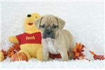 Sam,  Puggle Bull, Shipping Included | Puppy at 8 weeks of age for sale