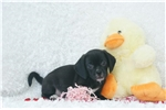 Picture of Jenny, Playful Puggle, Shipping Included