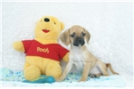 Picture of Ralphie, Playful Puggle, Shipping Included