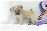 Picture of Reuben, Playful Puggle, Shipping Included