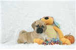 Sarge, Puggle, Shipping Included | Puppy at 7 weeks of age for sale