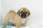 Picture of Howard male puggle shipping included