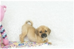 Picture of Strawberry Playful Puggle, Shipping Included