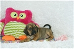 Picture of Athena, Puggle, Shipping Included