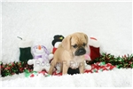Picture of Jolly, Puggle, Shipping Included