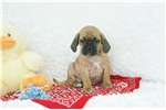 Picture of Apollo, Puggle, Shipping Included