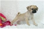Picture of Stella, Playful Puggle, Shipping Included