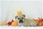 Lexie, Puggle Bull, Shipping Included | Puppy at 8 weeks of age for sale