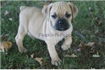 Ace,  Puggle Bull, Shipping Included | Puppy at 8 weeks of age for sale