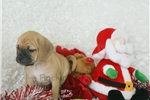 Picture of Jessa, Puggle, Shipping Included