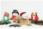Picture of Apple, Puggle, Shipping Included