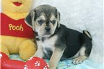 Picture of a Puggle Puppy
