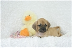 Picture of Paisley, Sweet Puggle, Shipping Included