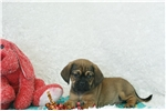 Picture of Cosmo, Puggle, Shipping Included