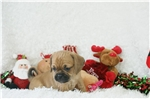 Picture of Ginger, Puggle, Shipping Included