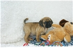 Picture of Marco, Puggle, Shipping Included