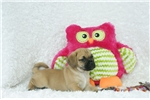 Picture of Dumpling, Puggle, Shipping Included