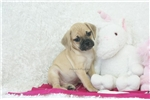 Picture of Sweetheart, Playful Puggle, Shipping Included