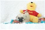 Picture of Squirt, Playful Puggle, Shipping Included