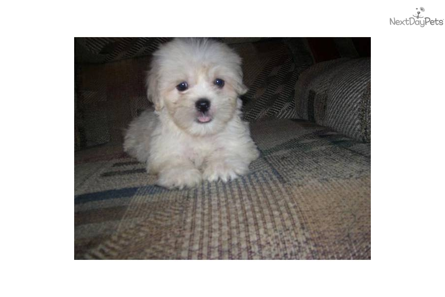 Meet Johnny A Cute Lhasa Apso Puppy For Sale For 300