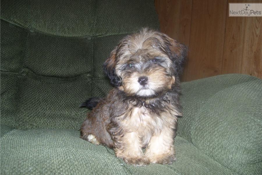 Lhasapoo Puppy For Sale Near Joplin Missouri 473c298b C8e1