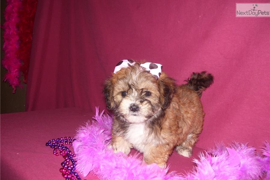 Lhasapoo Puppy For Sale Near Joplin Missouri F293cb72 6f51