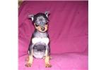 Picture of a Miniature Pinscher Puppy