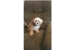 Lhasa Apso for sale