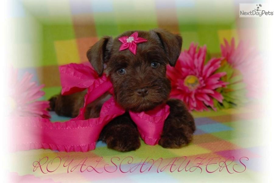 miniature schnauzer puppies in utah clinic miniature schnauzer breeder ... Miniature Schnauzer Utah
