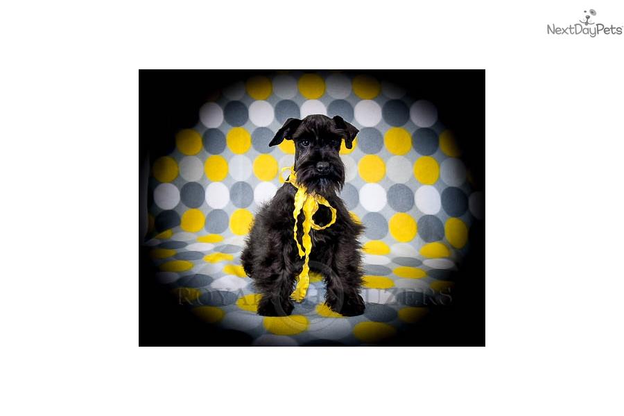 Schnauzer, Miniature puppy for sale near Salt Lake City, Utah ... Miniature Schnauzer Utah