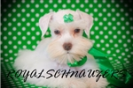 Picture of ~TCUP ~AKC~MINIATURE~SCHNAUZER~PUPPIES