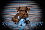 Picture of AKC TEACUP CHOCOLATE MINIATURE SCHNAUZER MALE