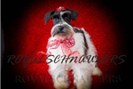 Picture of FEMALE MINIATURE SCHNAUZER FULL AKC