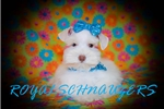Picture of AKC MICRO TEACUP MINIATURE SCHNAUZER