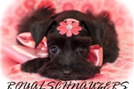 Picture of AKC TOY CHOCOLATE MEGACOAT FEMALE
