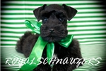 Picture of AKC Chocolate Tcup Schnauzer Puppies